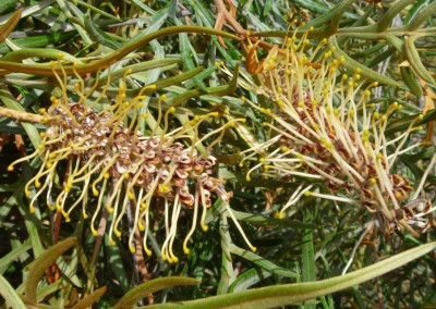 Grevillea Strawberry Blonde