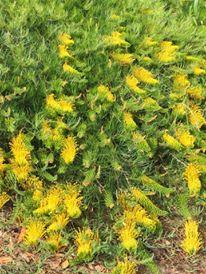 Grevillea Cooroora Cascade