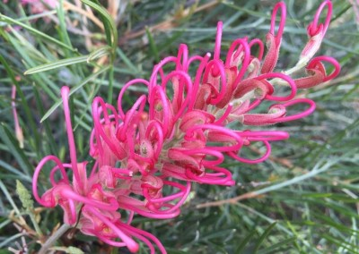 Grevillea Lollipops