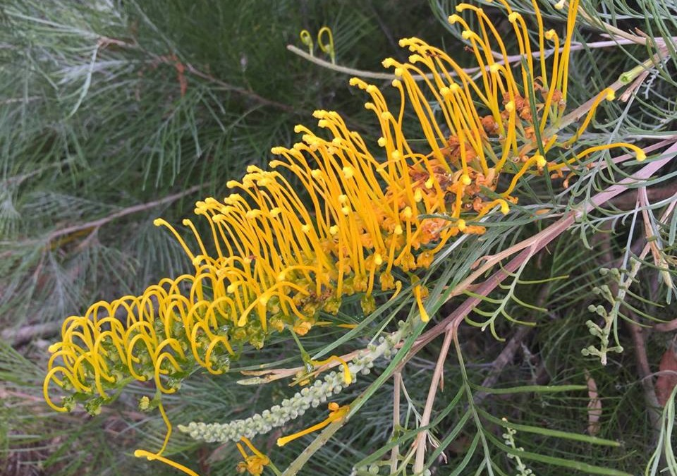 Grevillea golden lyre natives r us grevillea golden lyre mightylinksfo