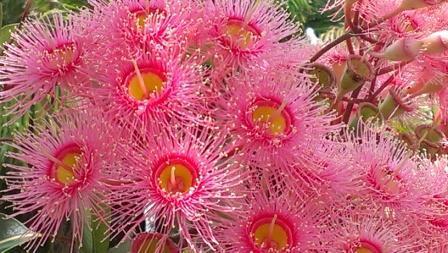 Eucalyptus Ptychocarpa